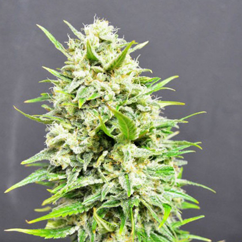 Купить семя конопли сканк как из дикой марихуаны