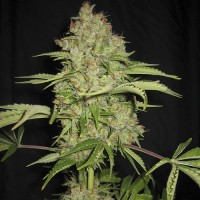 Auto White Russian Feminised (Import)