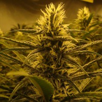 Auto Lemon Skunk Feminised (Import)