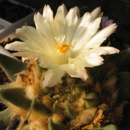 Ариокарпус Притуплённый (Ariocarpus Retusus)
