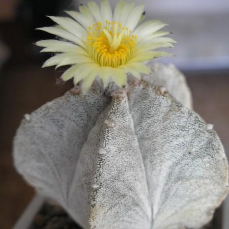 Астрофитум Коауильский (Astrophytum Coahuilense)
