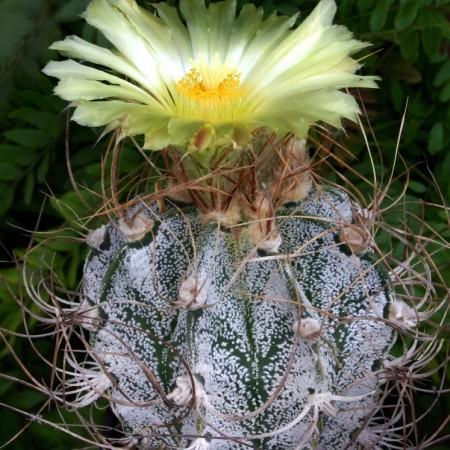 Astrophytum capricorne cv. Crassispinoides