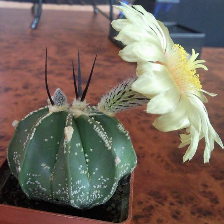 Астрофитум Крассиспинум (Astrophytum Сrassispinum)
