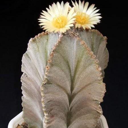 Астрофитум Многорыльцевый (Astrophytum Myriostigma)