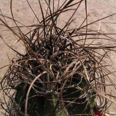Астрофитум Старческий (Astrophytum Senile)