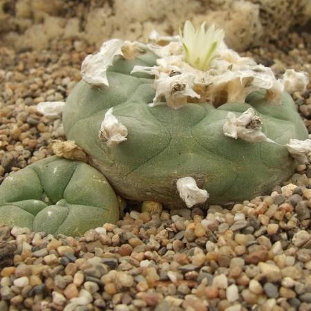 Лофофора ежистая (Lophophora Echinata)