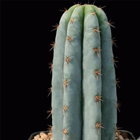 Кактус Сан-Педро (Trichocereus Pachanoi)