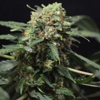 Auto Big Devil #2  Feminised (Import)