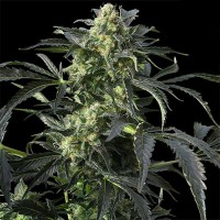 Auto Critical Kush Feminised (Import)