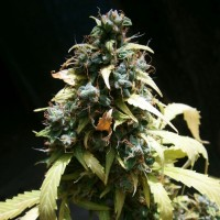 Auto Amnesia Feminised (Import)