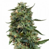 Auto LSD Feminised (Import)