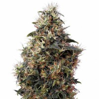 Auto Sweet Mango Feminised (Import)