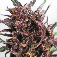 Auto Purple Kush Feminised (Import)