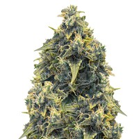 CBD Mango Haze Feminised (Import)
