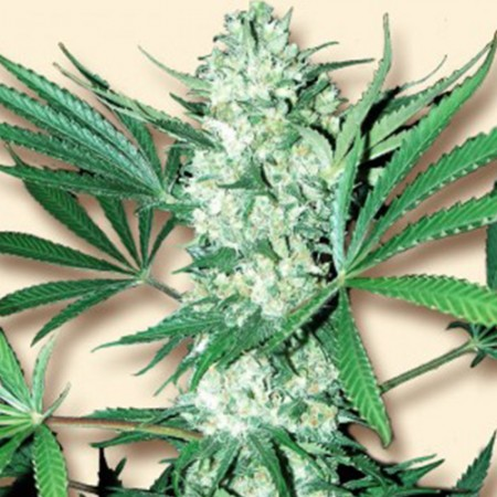 White Widow Feminised (Import)