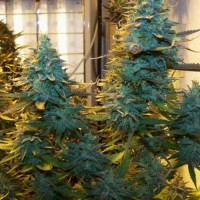 Auto White Widow Feminised (Import)
