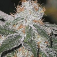 БОЛЬШАЯ ПАЧКА Auto White Widow Feminised (Import)