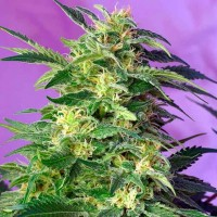 Auto Killer Kush Feminised (Import)