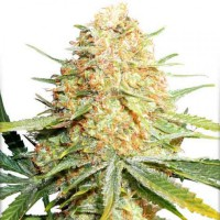 Auto Lemon Zkittle Feminised (Import)