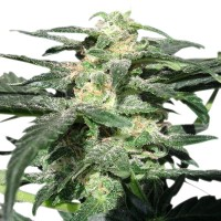 Auto Royal Haze Feminised (Import)