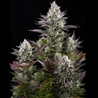 Silver Haze Feminised (Import)