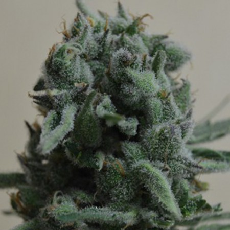 White Widow 47 Feminised (KS)