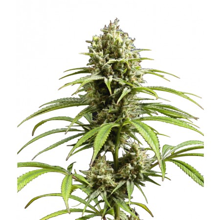 Auto Fruity Jack Feminised (RS)