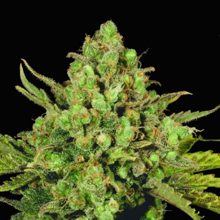 White Widow Feminised (RS)