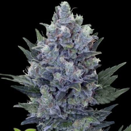 Blue Queen Feminised (SS)