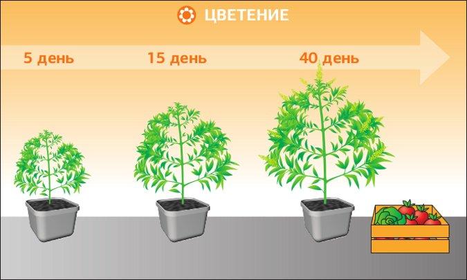 Конопля стадии марихуана разрешена