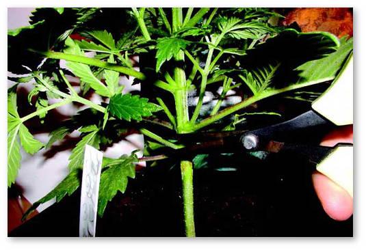 Обрезать листья у конопли где растет конопля москве